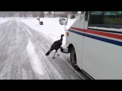 turkeys threaten deliverys3